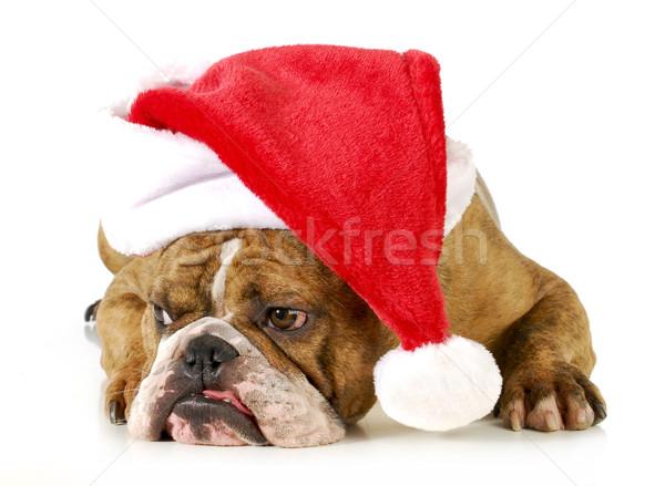 Foto stock: Cão · inglês · buldogue · seis