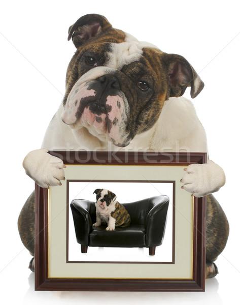 Fiatal kutyakölyök megnőtt kutya angol bulldog Stock fotó © willeecole