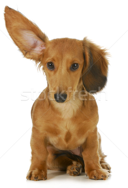 Stock photo: dog listening