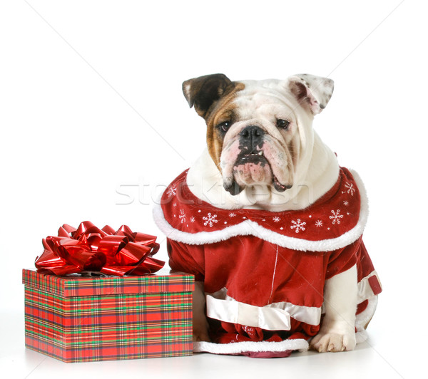 weihnachten hund englisch bulldogge rot sitzung. Black Bedroom Furniture Sets. Home Design Ideas