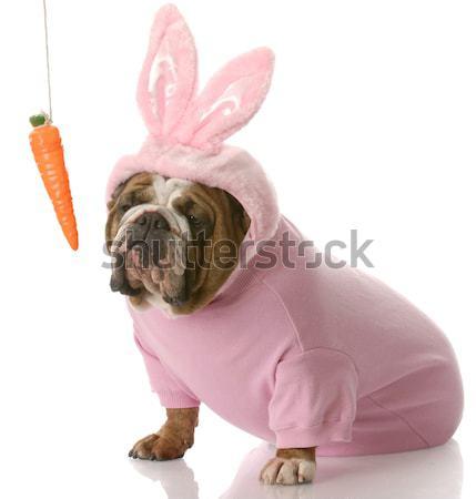 bulldog bunny Stock photo © willeecole
