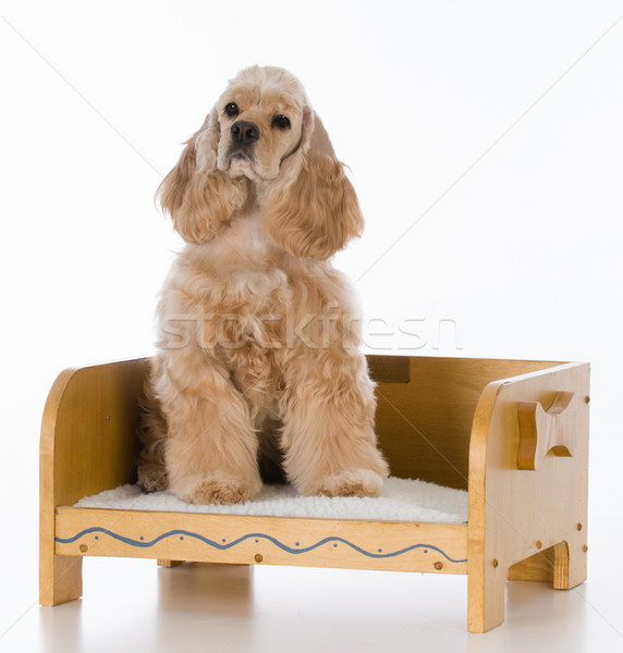 dog on a bed Stock photo © willeecole