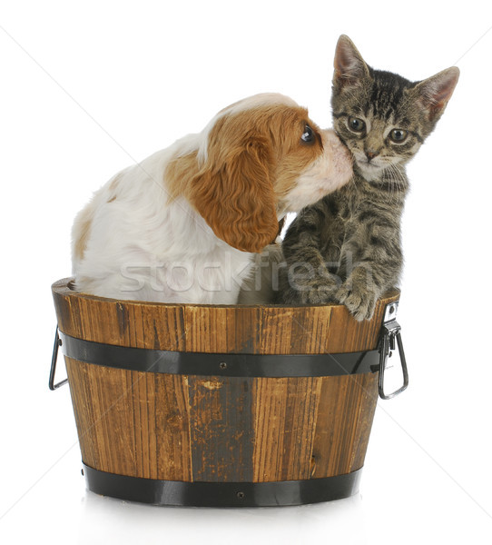Cute puppy kitten koning zoenen grijs Stockfoto © willeecole