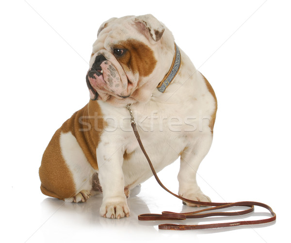dog on a leash Stock photo © willeecole