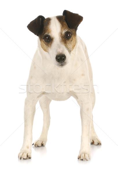 jack russel terrier  Stock photo © willeecole