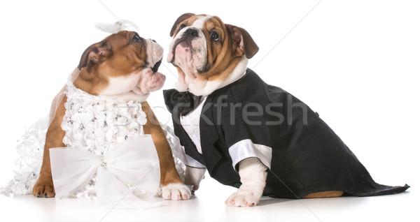 Foto stock: Cão · noiva · noivo · filhotes · de · cachorro · casamento · engraçado