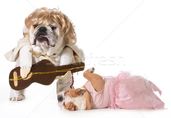 Rock star fan angielski bulldog kostium Zdjęcia stock © willeecole