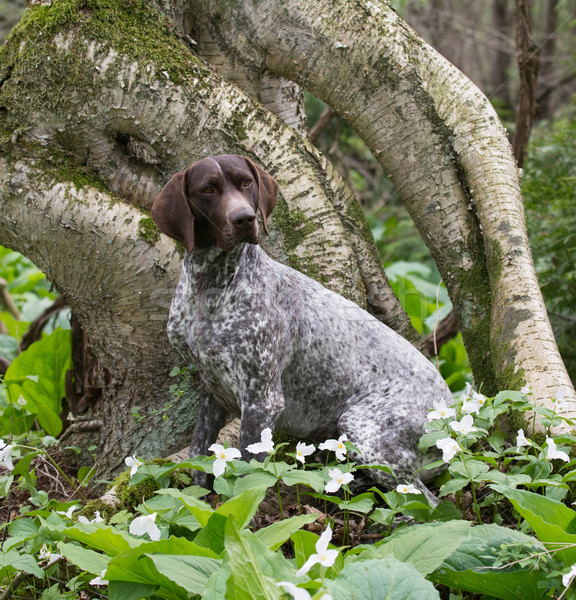 german shorthair pointer Stock photo © willeecole