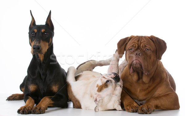 purebred dogs Stock photo © willeecole