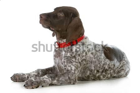 Hund nachschlagen Stier Mastiff Sitzung zurück Stock foto © willeecole