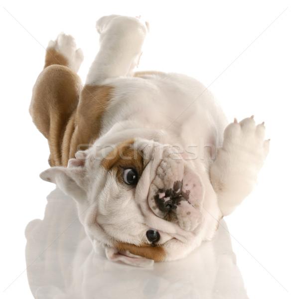 Dziewięć tydzień starych angielski bulldog szczeniak Zdjęcia stock © willeecole