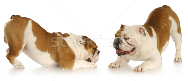 dogs playing Stock photo © willeecole