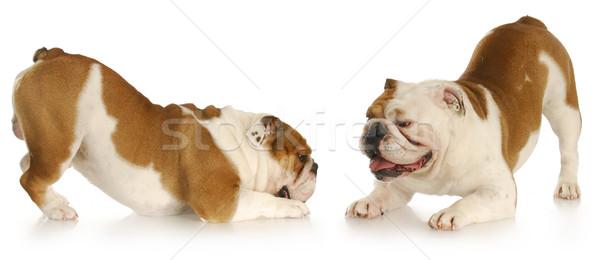 Honden spelen twee Engels omhoog reflectie Stockfoto © willeecole