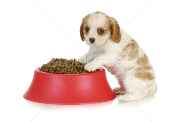 puppy with dog food bowl Stock photo © willeecole