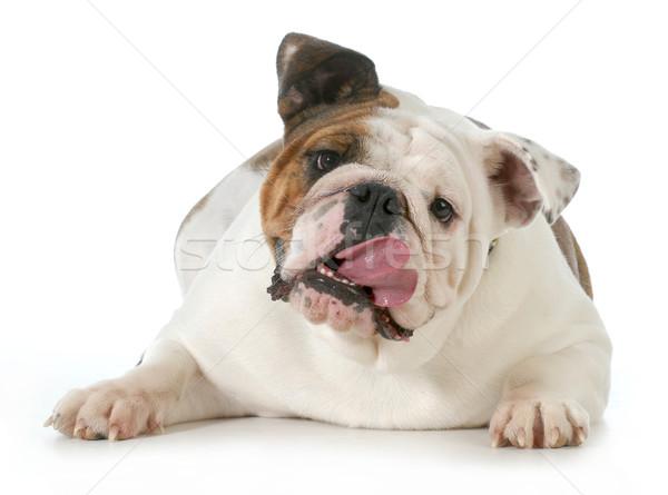 Kutya zihálás angol bulldog nyelv leragasztott Stock fotó © willeecole