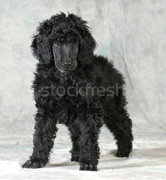 standard poodle puppy Stock photo © willeecole