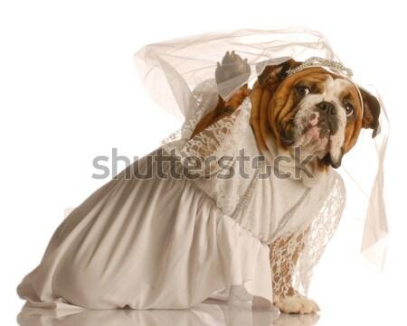 собака монах вверх подобно изолированный белый Сток-фото © willeecole