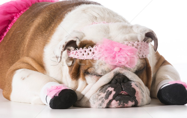 dog ballerina Stock photo © willeecole