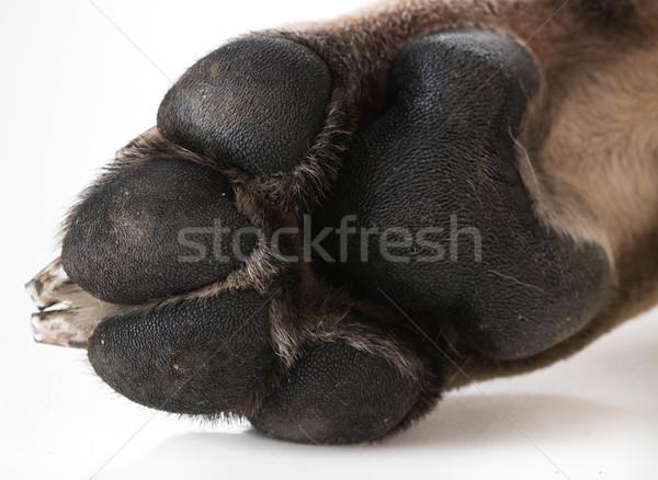 Hond voeten poot geïsoleerd witte Stockfoto © willeecole