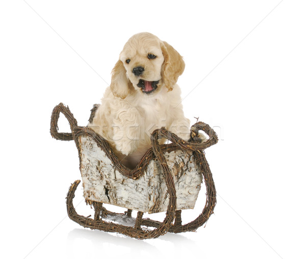 puppy in christmas sleigh Stock photo © willeecole