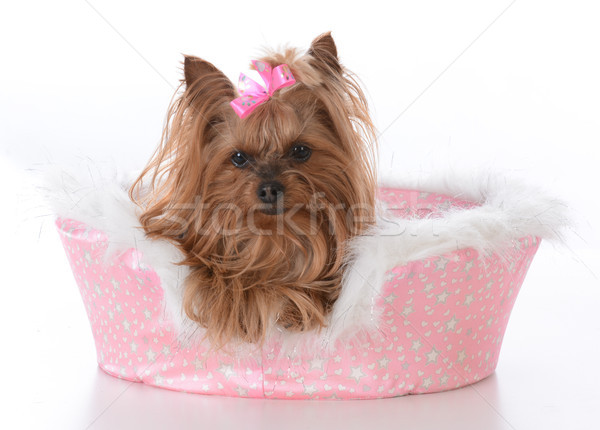 Yorkshire terrier Homme chien lit Photo stock © willeecole