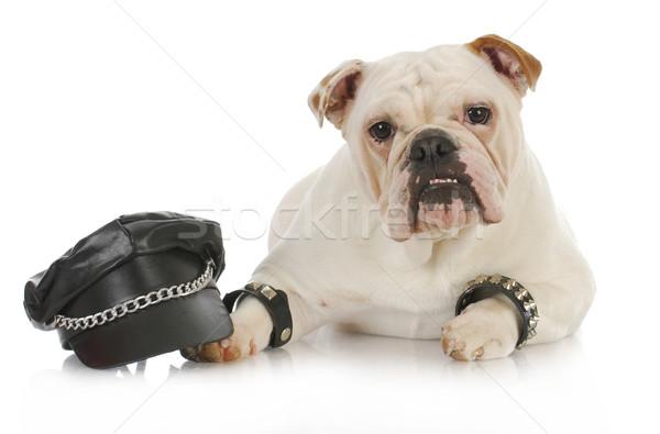 Taai hond Engels bulldog omhoog zoals Stockfoto © willeecole
