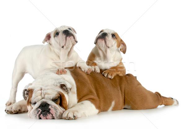 Zdjęcia stock: Angielski · bulldog · rodziny · ojciec · szczeniąt