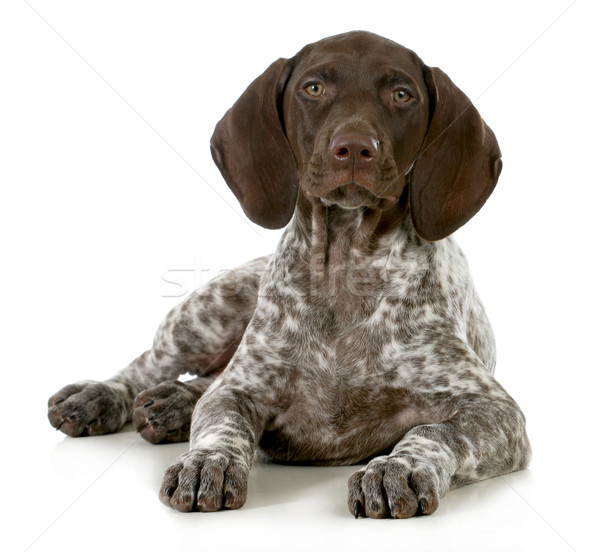 german short haired pointer puppy Stock photo © willeecole