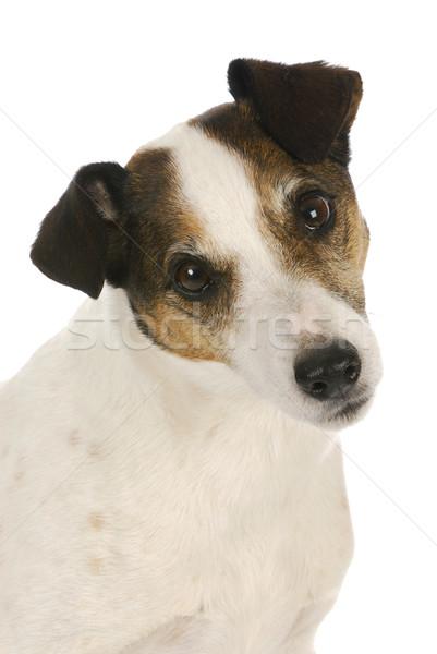 jack russel terrier portrait Stock photo © willeecole