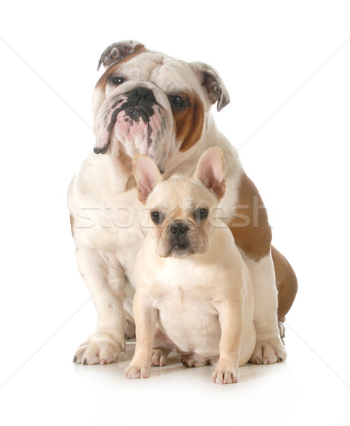 french and english bulldogs Stock photo © willeecole
