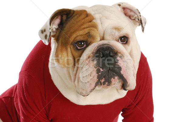 英語 ブルドッグ 着用 赤 犬 コート ストックフォト © willeecole