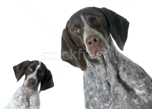 Volwassen puppy geïsoleerd witte dieren jonge Stockfoto © willeecole