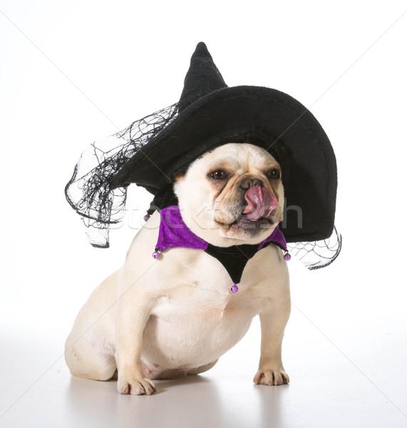 Hund Hexe Französisch Bulldogge tragen Kostüm Stock foto © willeecole