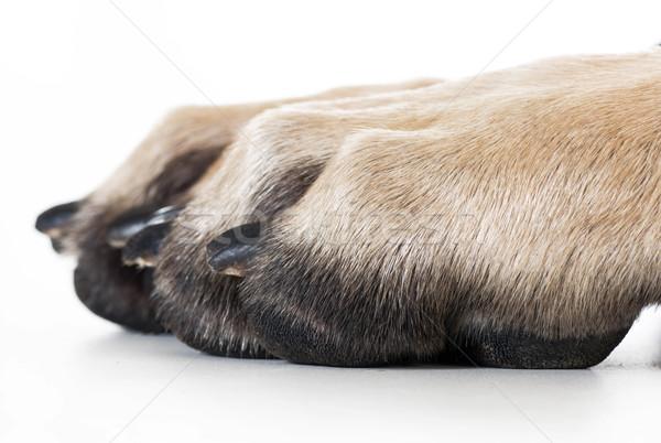 Cane zampa isolato bianco stampa piedi Foto d'archivio © willeecole