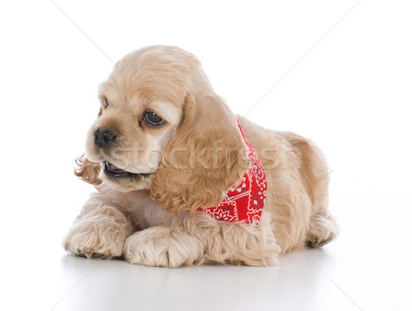 cocker spaniel puppy Stock photo © willeecole