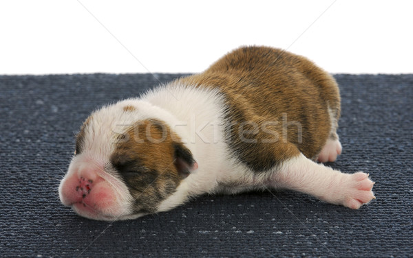 one week old puppy Stock photo © willeecole