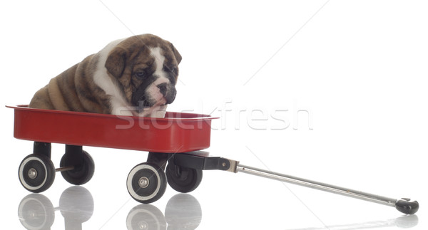 english bulldog puppy sitting in red wagon - 4 weeks old Stock photo © willeecole