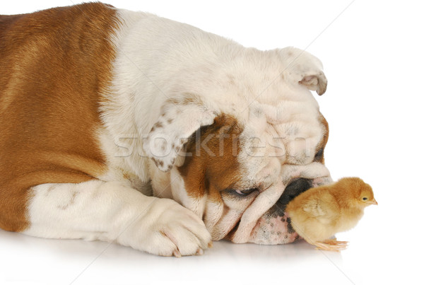 Jachthond Engels bulldog baby chick witte Stockfoto © willeecole