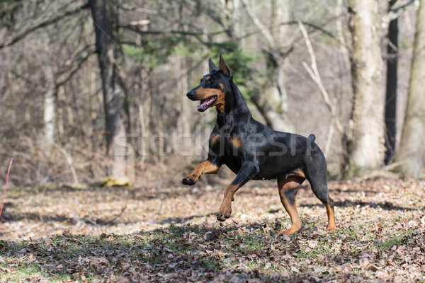 doberman running Stock photo © willeecole