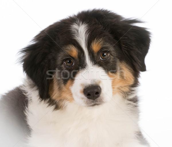 australian shepherd puppy Stock photo © willeecole