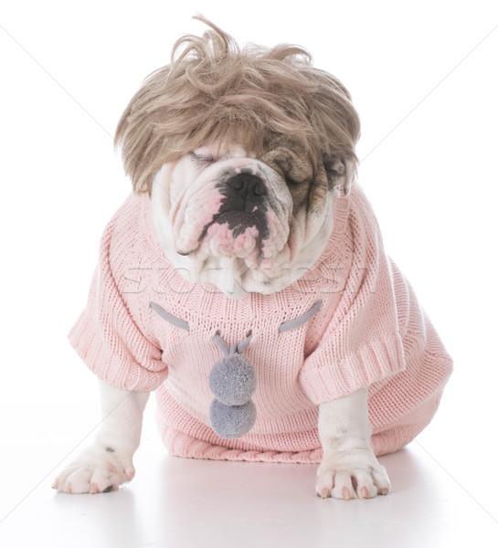 female english bulldog Stock photo © willeecole