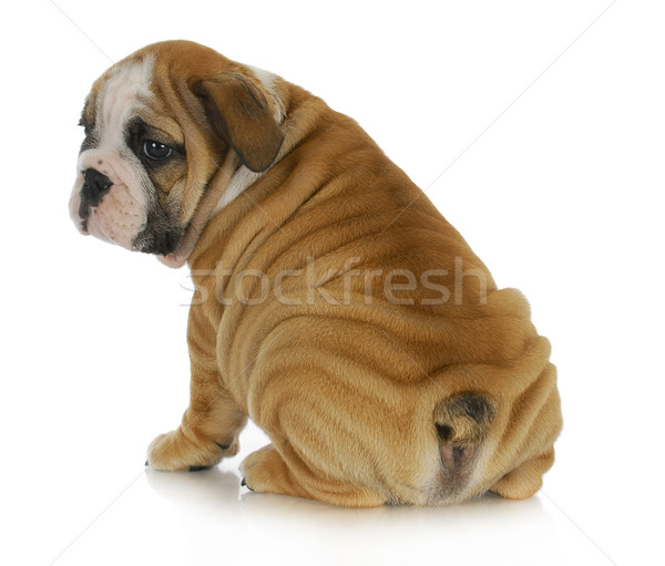 Stock photo: wrinkly puppy