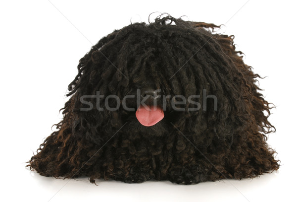 dog panting Stock photo © willeecole