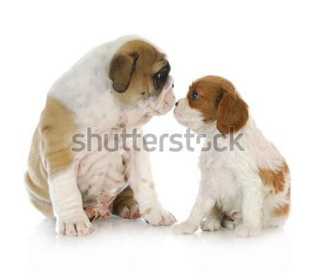 Stock fotó: Kettő · kiskutyák · király · angol · bulldog · kutyakölyök