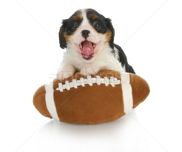 Stock fotó: Vicces · kutyakölyök · király · hülye · töltött · futball