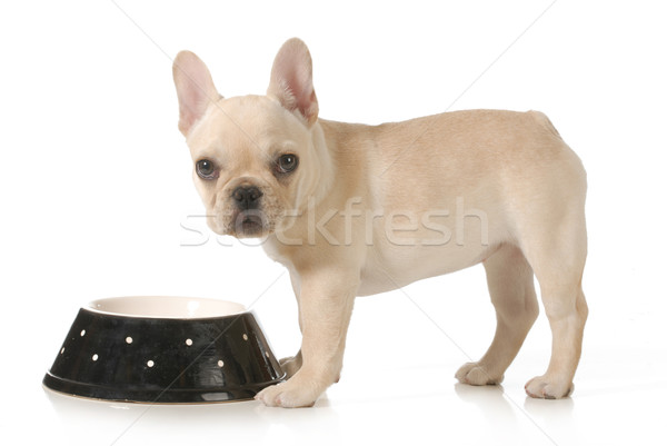 dog dinner time Stock photo © willeecole