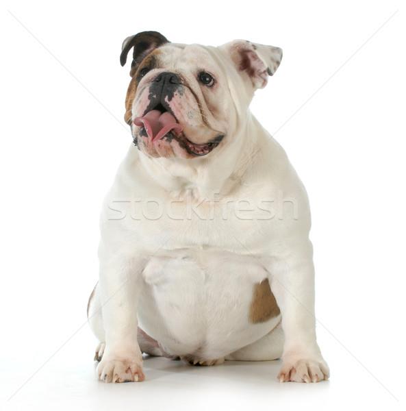 Stock fotó: Angol · bulldog · ül · egyéves · kutya · természet