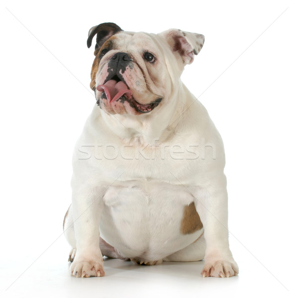английский бульдог сидят один год собака природы Сток-фото © willeecole
