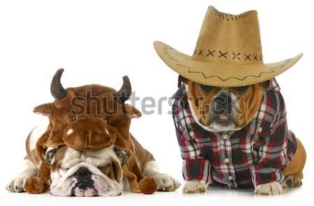 Paese cane english bulldog indossare occidentale Foto d'archivio © willeecole