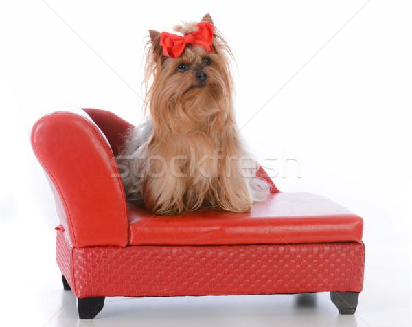 Yorkshire terriër hond bed vergadering Rood Stockfoto © willeecole
